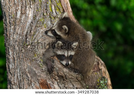 Young Raccoon (Procyon lotor) Being Climbed Over by Sibling - captive animal
