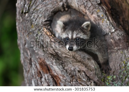 Young Raccoon (Procyon lotor) Hangs out of Tree - captive animal