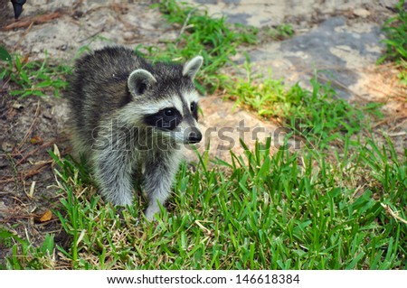 Young raccoon walking in green grass