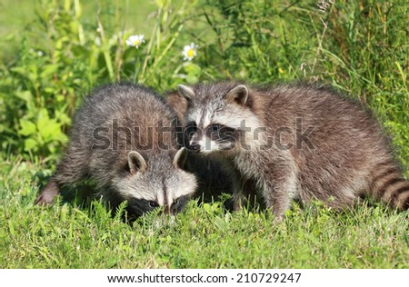 young raccoons in nature