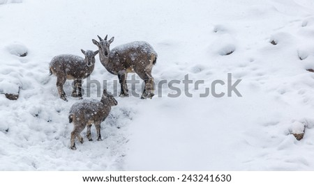 young rams under the snow - stock photo
