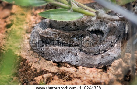Young rattlesnake in the dried grass in the Canaima national park  - Gran Sabana, Venezuela - stock photo