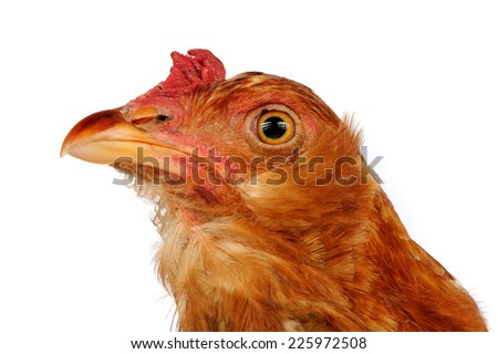 Young Red Chicken Close-Up on White Background - stock photo