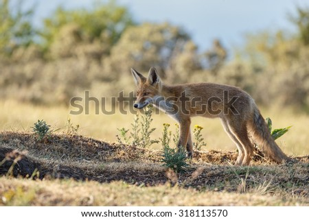 Young red fox  - stock photo