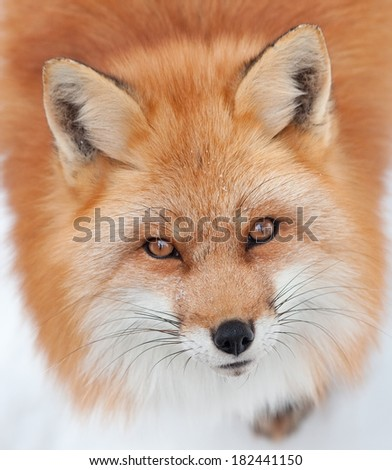 Young Red Fox Looking up at the Camera - stock photo