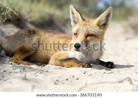 Young Red Fox Lying on the Sand