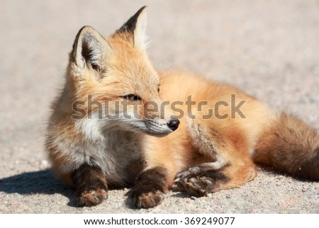 young red fox resting