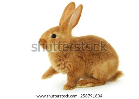 Young red rabbit isolated on white - stock photo
