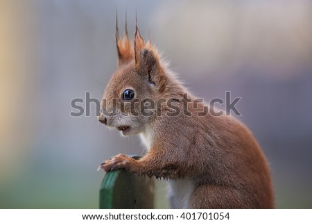 Young Red Squirrel standing at Board with Hazelnut in Mouth - stock photo