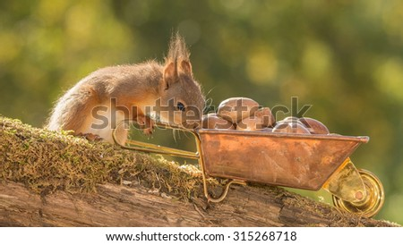 young red squirrel standing with a wheelbarrow with nuts  - stock photo