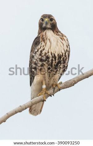 Young Red-tailed Hawk perched on a branch. - stock photo