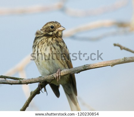 Young Reed Bunting on branch