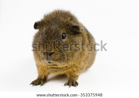 young rex guinea pig (agouti) - stock photo