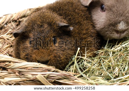 young rex guinea pig with buddy in hay basket