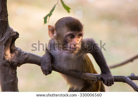 Young rhesus macaque playing in a tree at Tughlaqabad Fort, New Delhi, India - stock photo