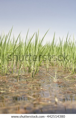 Young rice are growing in paddy fields, Vegas Altas del Guadiana, Spain. Low angle closeup