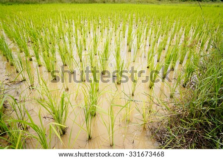 Young rice are grown in the paddy field/Rice field at Songkhla Thailand. - stock photo