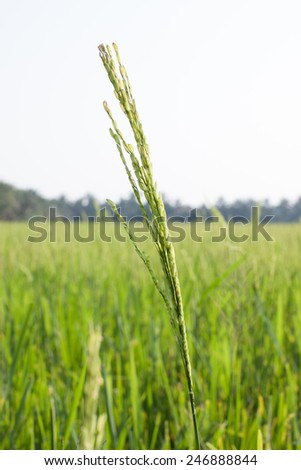 Young rice field  agriculture farm background from THAILAND. - stock photo