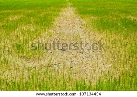 Young rice field in the dry mud - stock photo