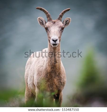 Young Rocky Mountain Bighorn Sheep Kananaskis Country Alberta Canada - stock photo