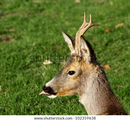 young roe deer buck with growing trophy - stock photo