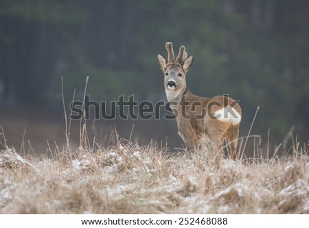 Young roe deer male in winter forest. Poland - stock photo