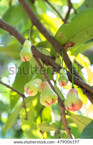 Young rose apple fruit on tree with light on leaf