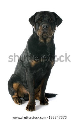 young rottweiler in front of white background