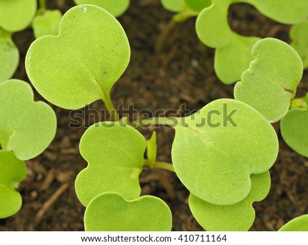 Young rucola laves  - stock photo