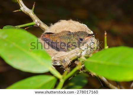 Young rufous-tailed hummingbird in nest, Panama, Central America