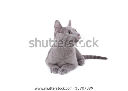 Young Russian Blue Male Cat on white background - stock photo