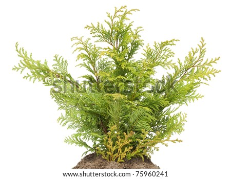 Young sapling of Golden Thuja  on bed, isolated on white  background
