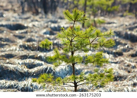 Young sapling pine tree.