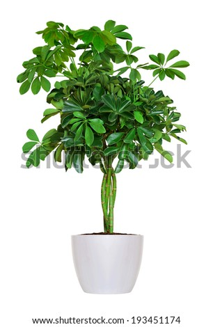 young Schefflera a potted plant isolated over white - stock photo