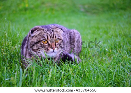 Young scottish fold cat on the grass