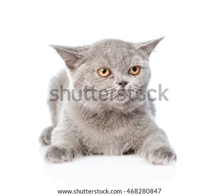 Young Scottish kitten lying and looking away. isolated on white background