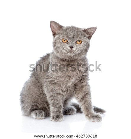 Young Scottish kitten sitting and looking at camera. isolated on white background