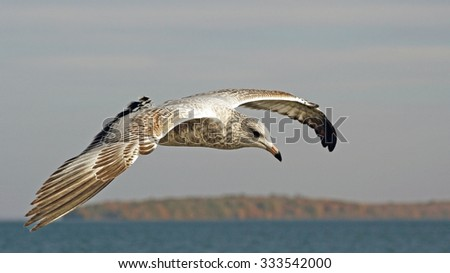 Young Seagull flying over water looking for food - stock photo