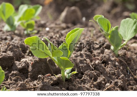 Young seedling of a peas - stock photo