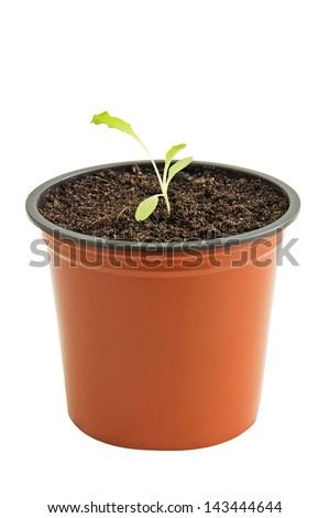 Young seedling of lettuce in pot isolated on white - stock photo