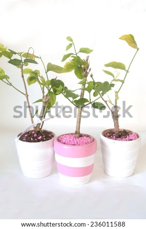 Young Seedlings Jasminum in a  flowerpot - stock photo