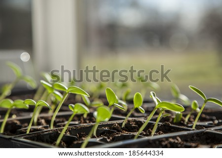 Young seedlings of cucumbers in tray - stock photo