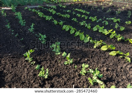 Young seedlings planted out in a veggie garden in reich dark fertile soil in a gardening and self sufficiency concept - stock photo