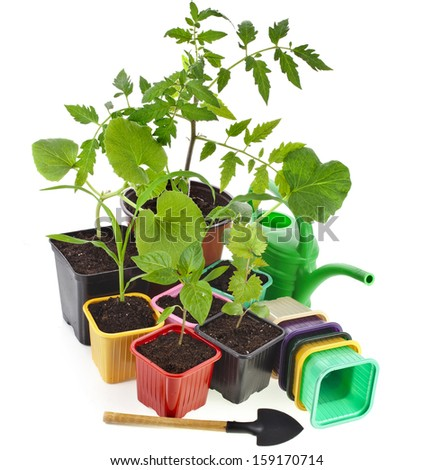 Young Seedlings Sprouts and colored box pots isolated on white background  - stock photo