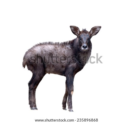 young serow isolated on  white background - stock photo
