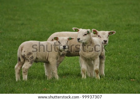 Young sheep and lamb walking and eating grass in spring meadow