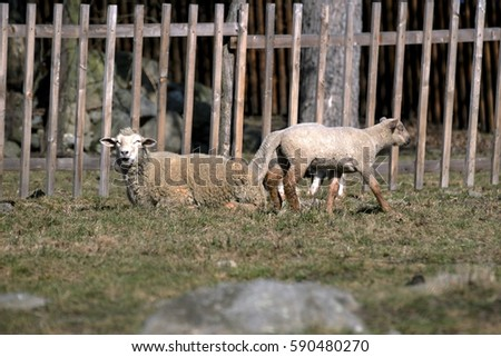 Young sheep graze in a meadow in spring