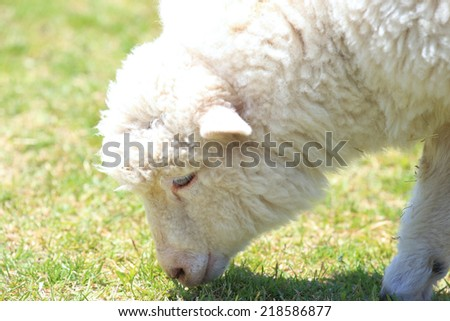 Young sheep grazing in a meadow