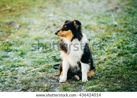 Young Shetland Sheepdog, Sheltie, Collie Puppy Sit In Grass Outdoor - stock photo