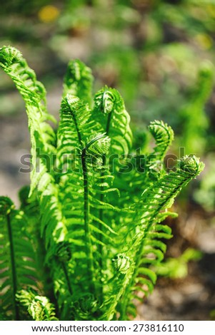 Young shoots of ferns illuminated by sunlight - stock photo